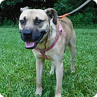 Black Mouth Cur Mix Dog for adoption in St. Francisville, Louisiana - Winston