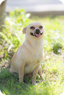 Chihuahua Mix Dog for adoption in La Jolla, California - Dora