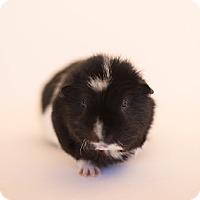 Adopt A Pet :: Bo - Fullerton, CA