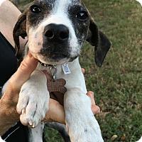 Adopt A Pet :: Claire - Allentown, PA