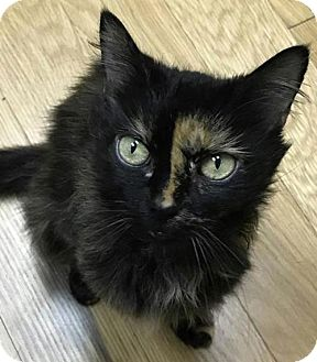 Domestic Mediumhair Cat for adoption in Raleigh, North Carolina - Phoebe