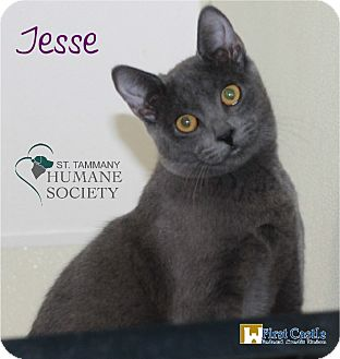 Domestic Shorthair Kitten for adoption in Covington, Louisiana - Jesse