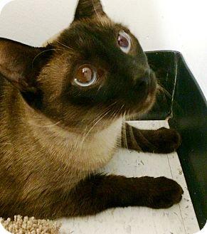 Siamese Cat for adoption in Lake Elsinore, California - Adam