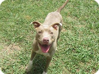 American Staffordshire Terrier Dog for adoption in Plano, Texas - MELODY