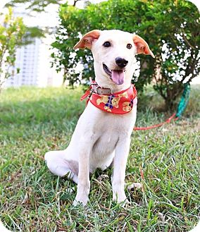 Labrador Retriever Mix Puppy for adoption in San Mateo, California - Dormie