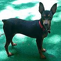 Adopt A Pet :: Coco Chanel - Summerville, SC
