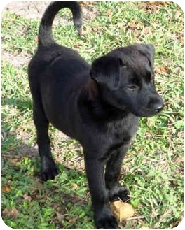 Ziva | Adopted Puppy | 387 | Houston, TX | Labrador ...