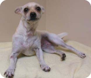 Chihuahua Mix Dog for adoption in Gary, Indiana - Greta