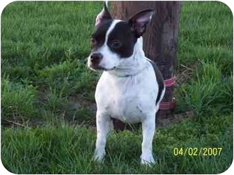 boston terrier jack russell boston adopted dog urgent tiffin oh boston 9700