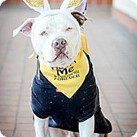 Adopt A Pet :: Niko - Redondo Beach, CA