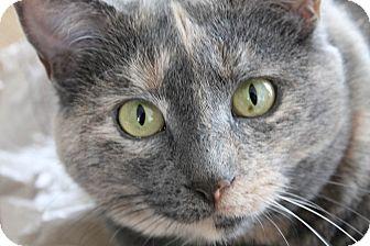 Domestic Shorthair Cat for adoption in Lincoln, Nebraska - Chloe