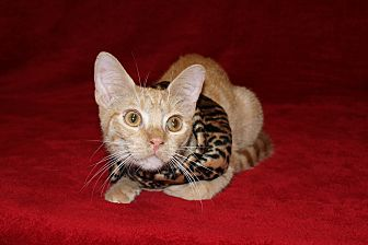 American Shorthair Cat for adoption in Jackson, Mississippi - Gizmo