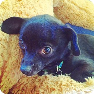 Terrier (Unknown Type, Medium)/Chihuahua Mix Dog for adoption in San Francisco, California - Estrellita