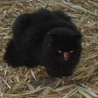Adopt A Pet :: Raven - Bonita Springs, FL