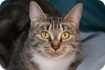 Domestic Shorthair Cat for adoption in Vancouver, British Columbia - Flossy