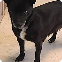 Adopt A Pet :: Sadie - Shawnee Mission, KS
