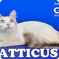 Adopt A Pet :: Atticus - Carencro, LA