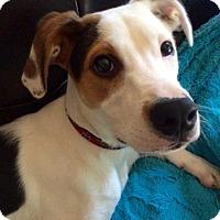 Adopt A Pet :: Bentley - Potomac, MD
