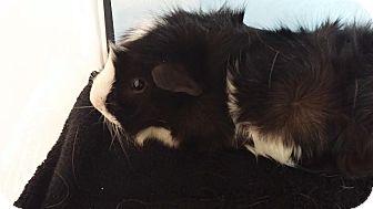 Guinea Pig for adoption in Aurora, Colorado - Salem