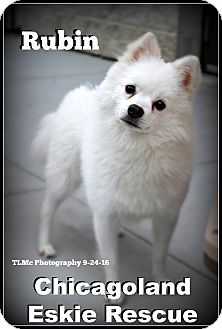 Spitz (Unknown Type, Small) Dog for adoption in Elmhurst, Illinois - Rubin