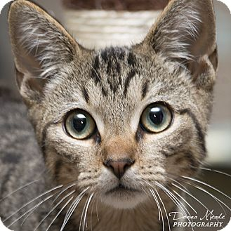 Domestic Shorthair Cat for adoption in Troy, Ohio - Chuck
