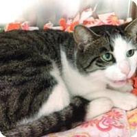 Domestic Shorthair Cat for adoption in Parma, Ohio - Caleb