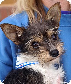 Yorkie, Yorkshire Terrier/Terrier (Unknown Type, Medium) Mix Dog for adoption in Carrollton, Texas - Diamond