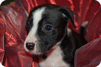 Labrador Retriever/Blue Heeler Mix Puppy for adoption in Lebanon, Tennessee - TRIXIE
