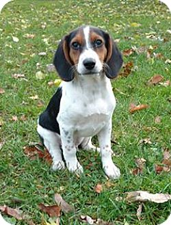 Beagle Mix Puppy for adoption in New Oxford, Pennsylvania - Gavery