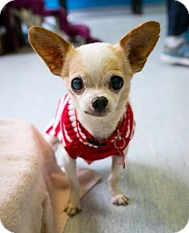 Chihuahua Mix Dog for adoption in San Francisco, California - Casper