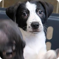 Adopt A Pet :: Hensley - Rochester, NY