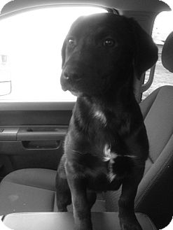 Labrador Retriever Mix Puppy for adoption in Vancouver, British Columbia - Hailey - Adoption Pending