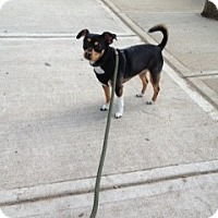 Adopt A Pet :: Ava - Rockaway, NJ