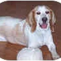 Adopt A Pet :: Cassie Artemis - Phoenix, AZ