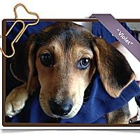Adopt A Pet :: Violet - Portland, OR