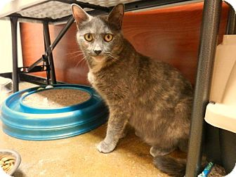 Domestic Shorthair Cat for adoption in meriden, Connecticut - Sasha