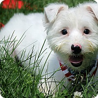 Adopt A Pet :: Bentley - Windham, NH