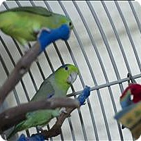 Adopt A Pet :: Edward - Denver, CO