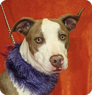 Pit Bull Terrier Mix Dog for adoption in Jackson, Michigan - Wanda