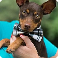 Miniature Pinscher/Dachshund Mix Puppy for adoption in Santa Fe, Texas - BJ