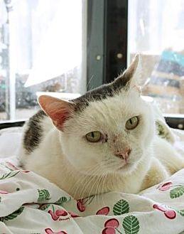 Domestic Shorthair Cat for adoption in Santa Paula, California - Owen