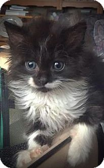 Domestic Longhair Kitten for adoption in Wichita, Kansas - Lola