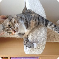 Domestic Shorthair Cat for adoption in Dana Point, California - Butters