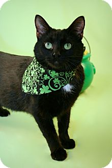 Domestic Shorthair Cat for adoption in Green Bay, Wisconsin - Eva