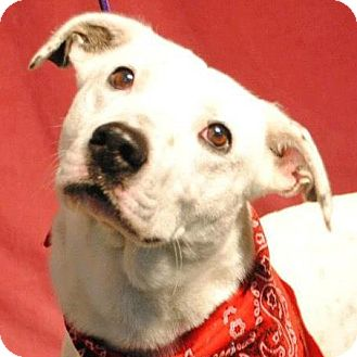 Basset Hound/Dalmatian Mix Dog for adoption in Weatherford, Texas - Domino