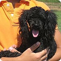Adopt A Pet :: Maxwell - Salem, NH