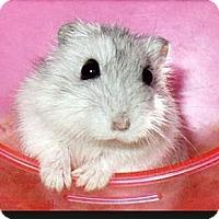 Adopt A Pet :: Cosmo - Bensalem, PA