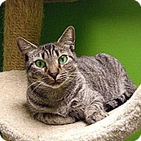 Domestic Shorthair Cat for adoption in Jupiter, Florida - Adina