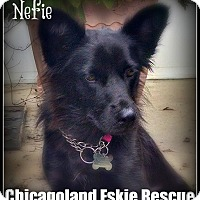 Adopt A Pet :: Nefie - Elmhurst, IL