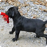 Adopt A Pet :: Makina family pup - Sacramento, CA